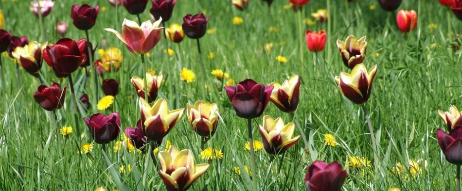 tulipános rét