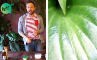 fényes, egészséges szobanövény levél