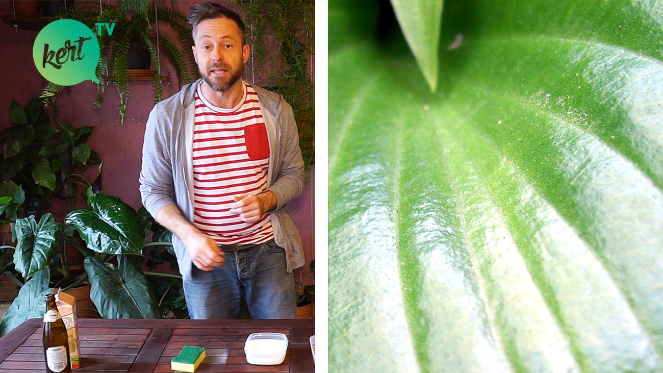 Sörrel és tejjel a szebb szobanövényekért - videó