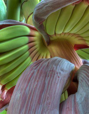 banánfa, banán