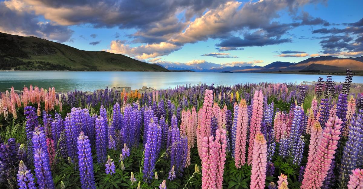 Csillagfürt virágzás a Tekapo-tónál