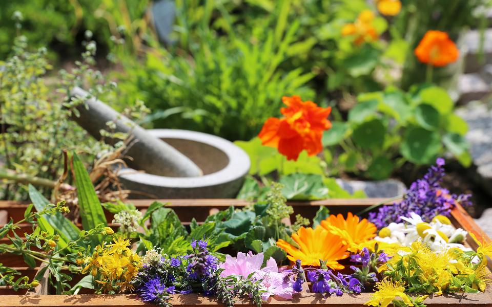 Gyógynövényt a kertekbe! - 6 könnyen termeszthető gyógynövény