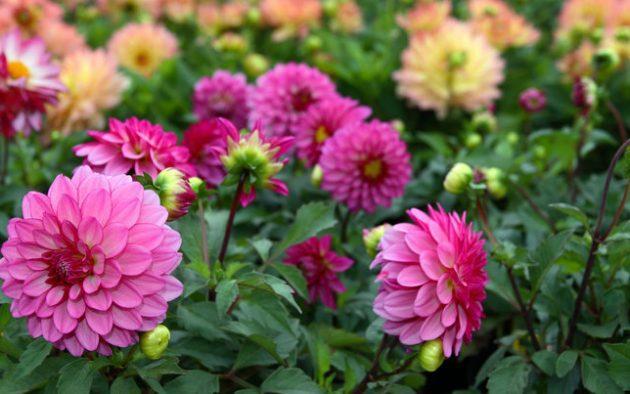 nyáron virágzó hagymások