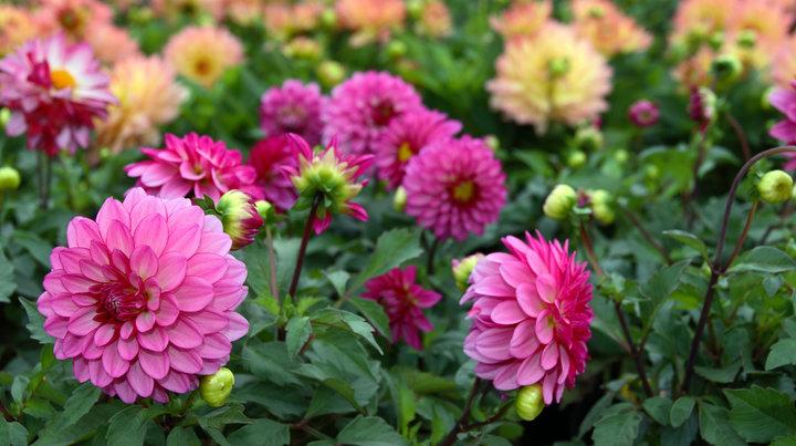 Pakoljunk színt a kertbe - ültessünk nyáron virágzó hagymásokat!