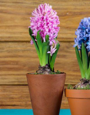 jácint, nárcisz, tulipán, hajtatott hagymás, hagymások