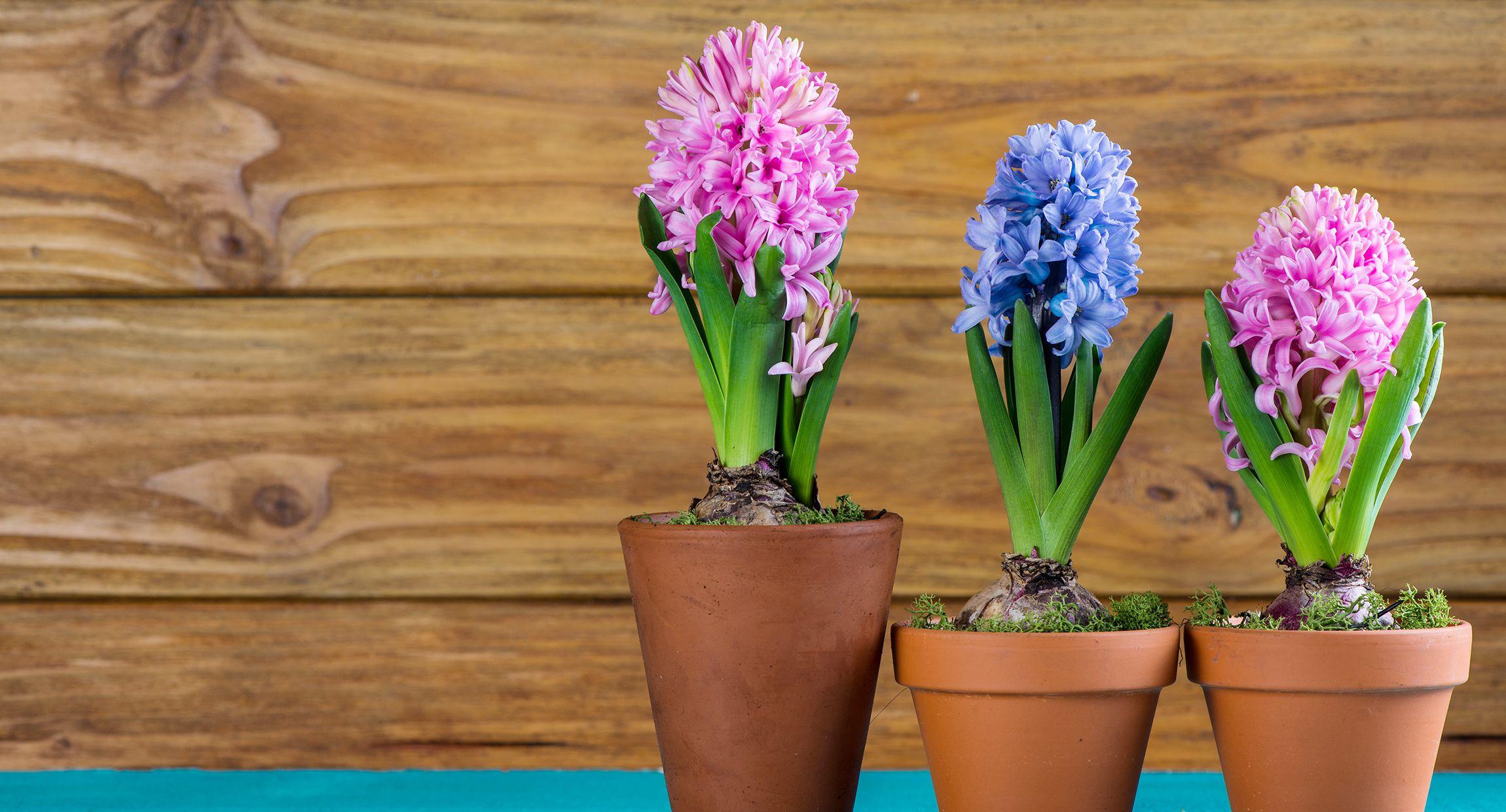 Hajtatott nárcisz, jácint, tulipán - hogyan gondozzuk őket elnyílás után?