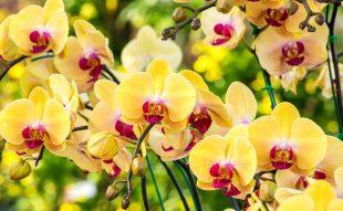 orchidea-tartasa