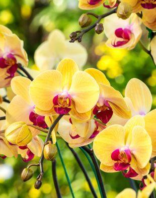 orchidea, virágzás, titok, tipp