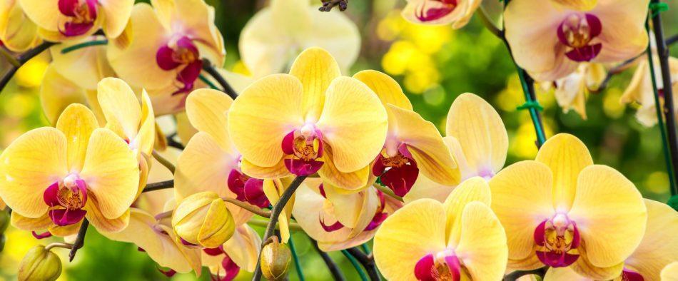 orchidea tartása