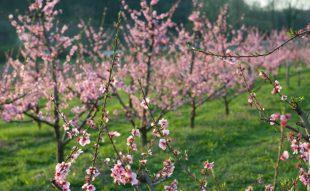 gyümölcsfa csemete metszése