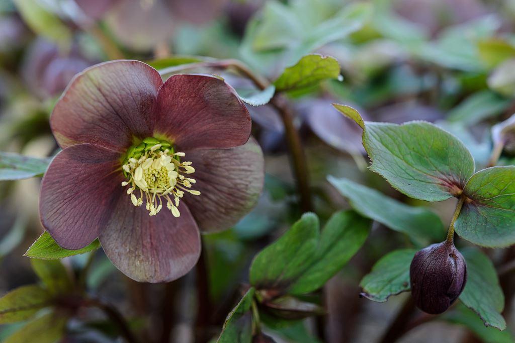 A kertek legkorábban virágzó évelői, a hunyorok
