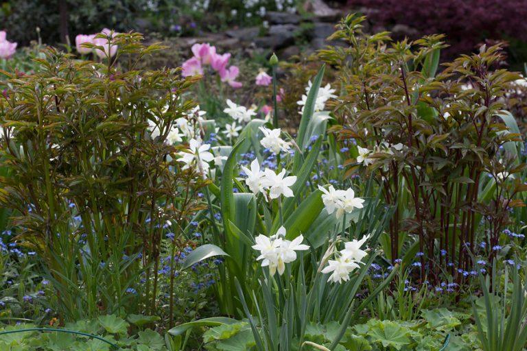 nárciszok-tavaszi-hagymasok
