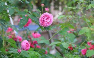 rózsák tavaszi metszése