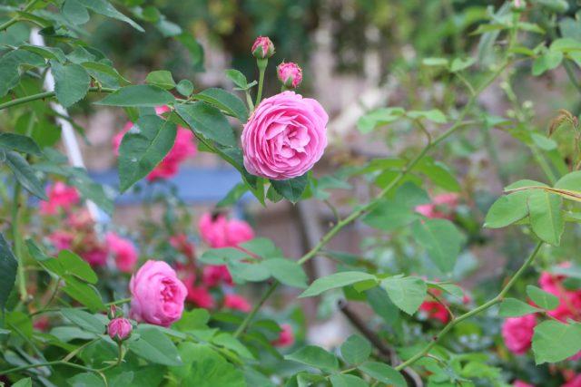 A rózsák tavaszi metszése - rózsabokor, rózsafa, minirózsa, futórózsa