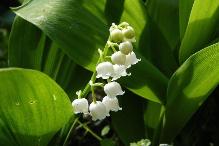 gyöngyvirág, május