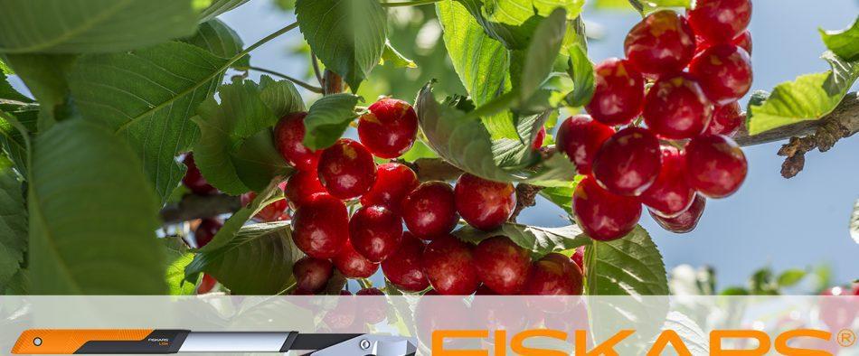 cseresznyefa, metszés, tavasz