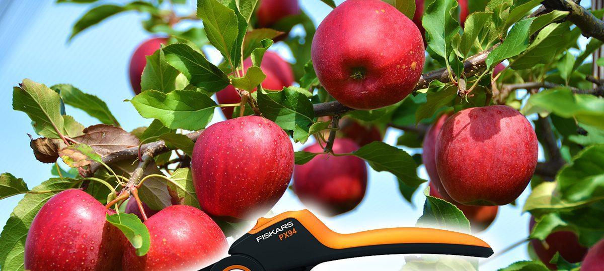 almafa, metszés