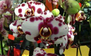 orchidea, kiállítás, bécs