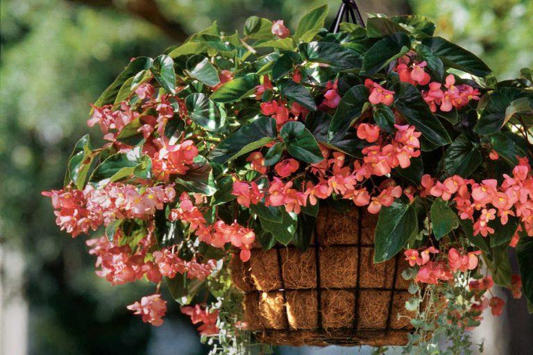 begonia-balkonon-teraszon