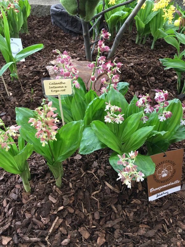 calanthe, orchidea