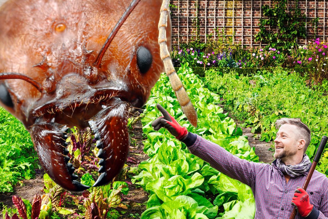 Rezisztens paradicsom fajtákat ültetek, miközben támadnak az óriás hangyák