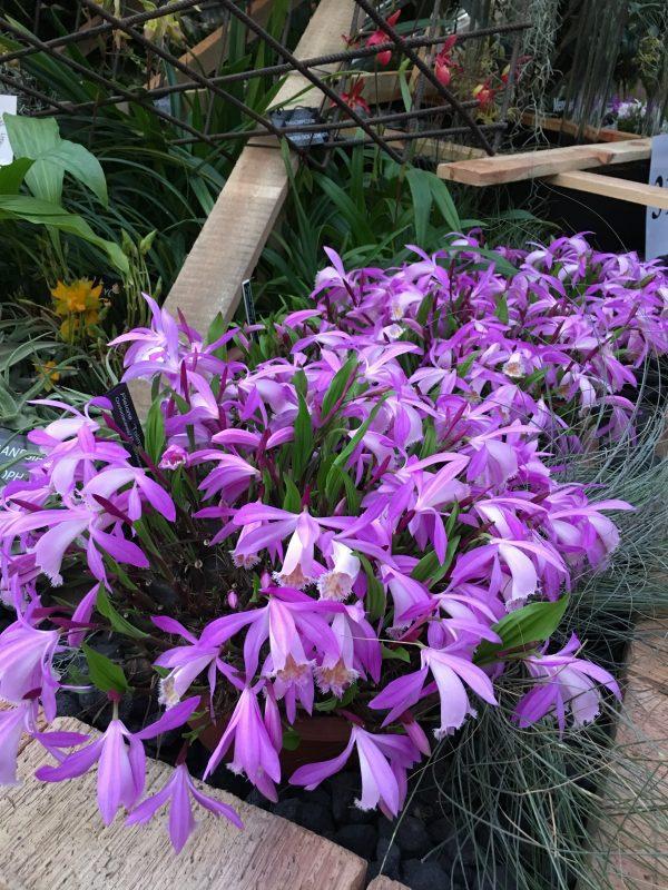 tibeti orchidea. orchidea