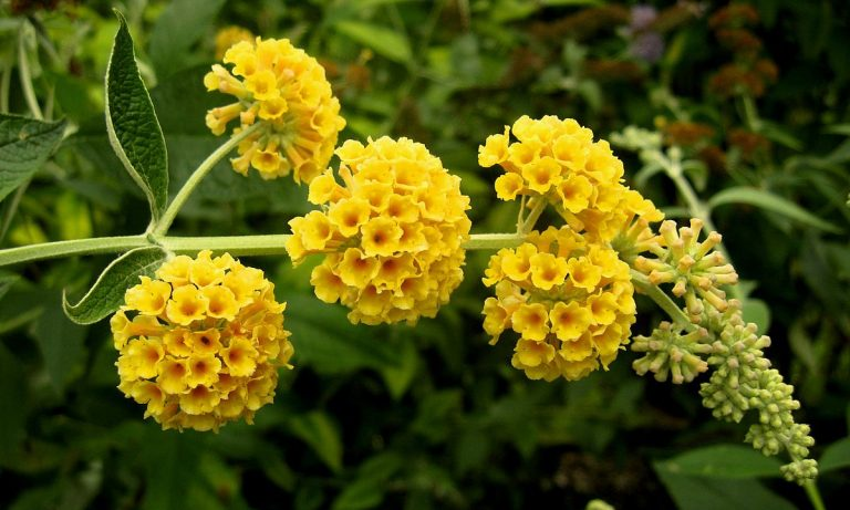 sárga virágú nyáriorgona