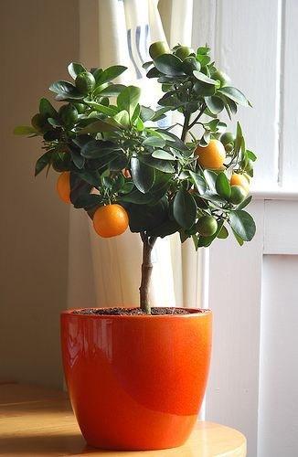 citrus nevelése cserépben