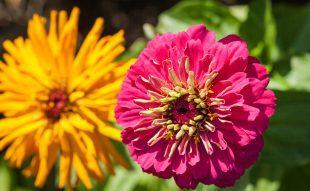 egynyárik, egynyári virág, gondozás
