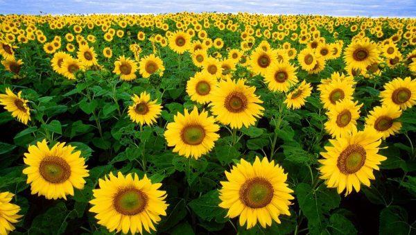 hosszú nappalos növények