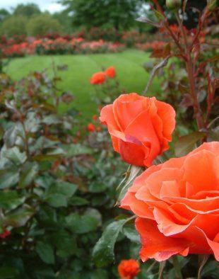 rózsa nyári metszése