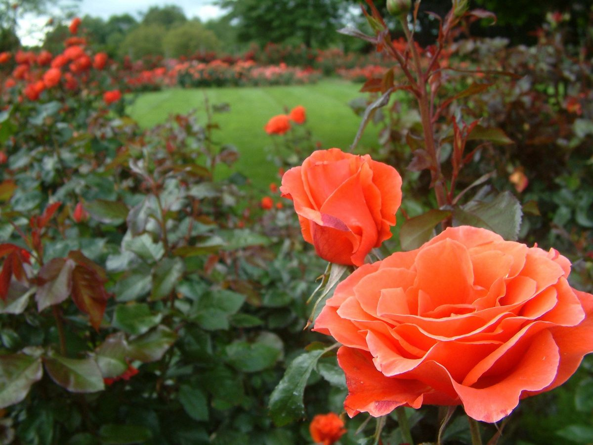 A rózsa nyári metszése. Az ötleveles szabály- videó