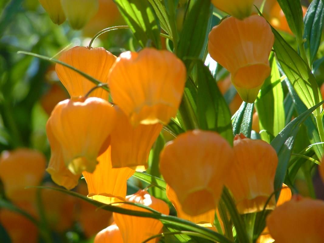 Lampionliliom-egy csupa bűbáj növény