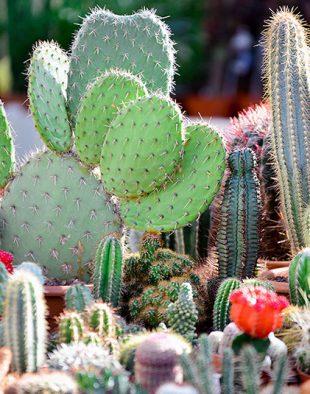 télálló kaktusz a kertben