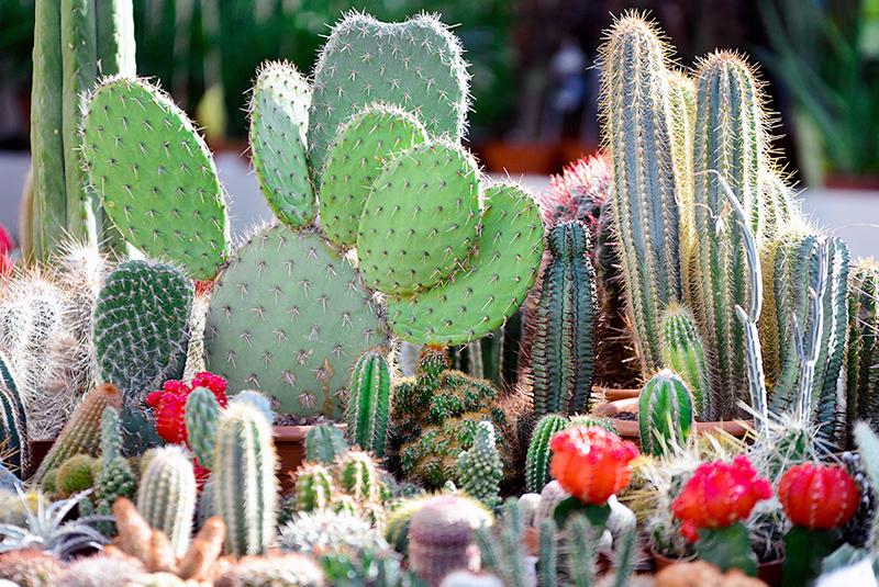 Télálló kaktuszok a kertünkben