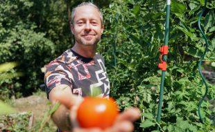 paradicsom őszi termesztése