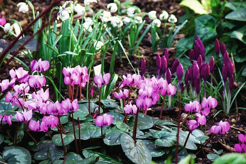 Az árnyákos kertek hercegnői - a kerti ciklámenek