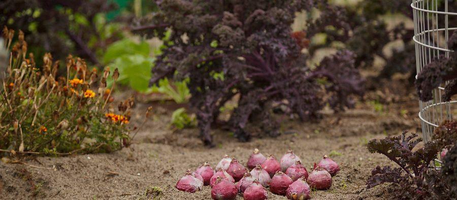 tavaszi hagymások őszi ültetése