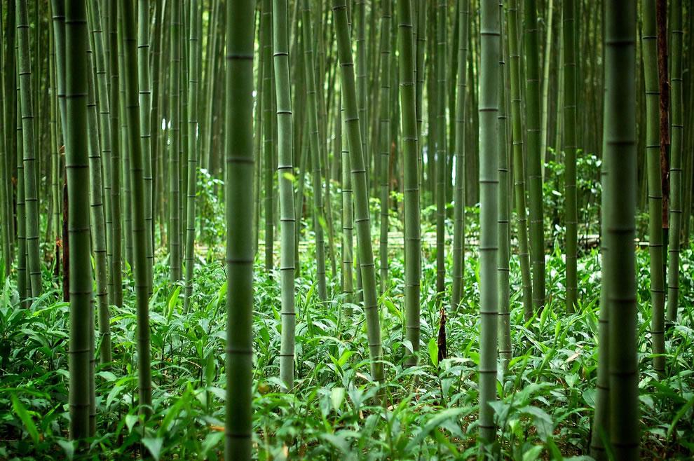 A bambusz diadalútja