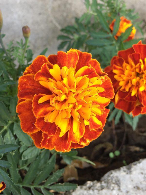 bársonyvirág, egynyári
