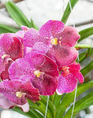 vanda, orchidea, videó