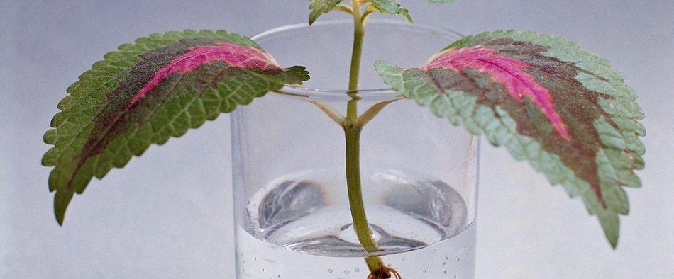 növények gyökereztetése