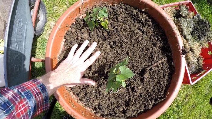 édesburgonya, batáta, dézsa, ültetés