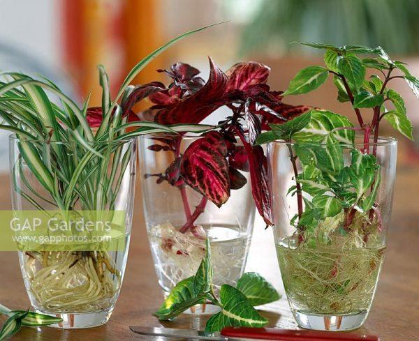 szines-levelu-pelyvavirag-gyokereztetes