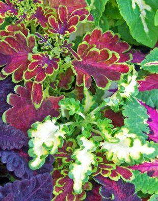tarka levelűű, színes levelű, szobanövény
