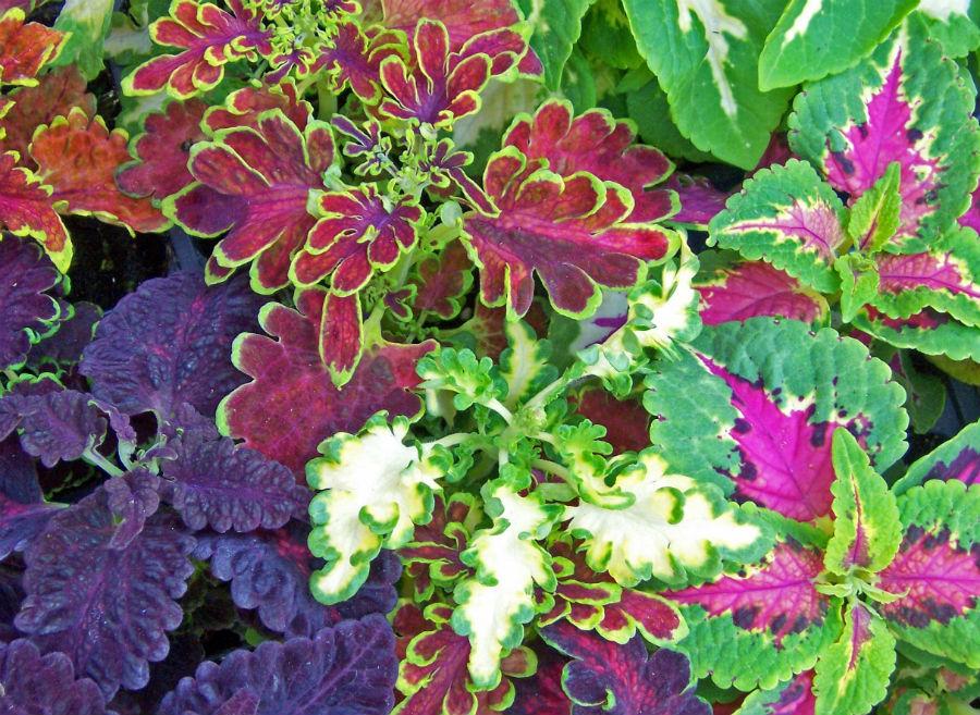 7 különlegesen szép mintázatú, tarka levelű növény az otthonodba