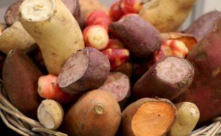 édesburgonya, batáta termesztés