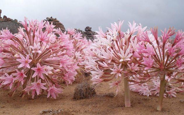 brunsvigia bosmaiae, virágzás, Dél-Afrika