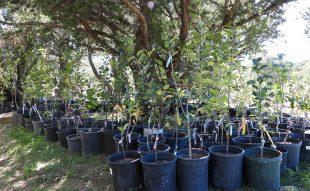 almafa csemete metszése