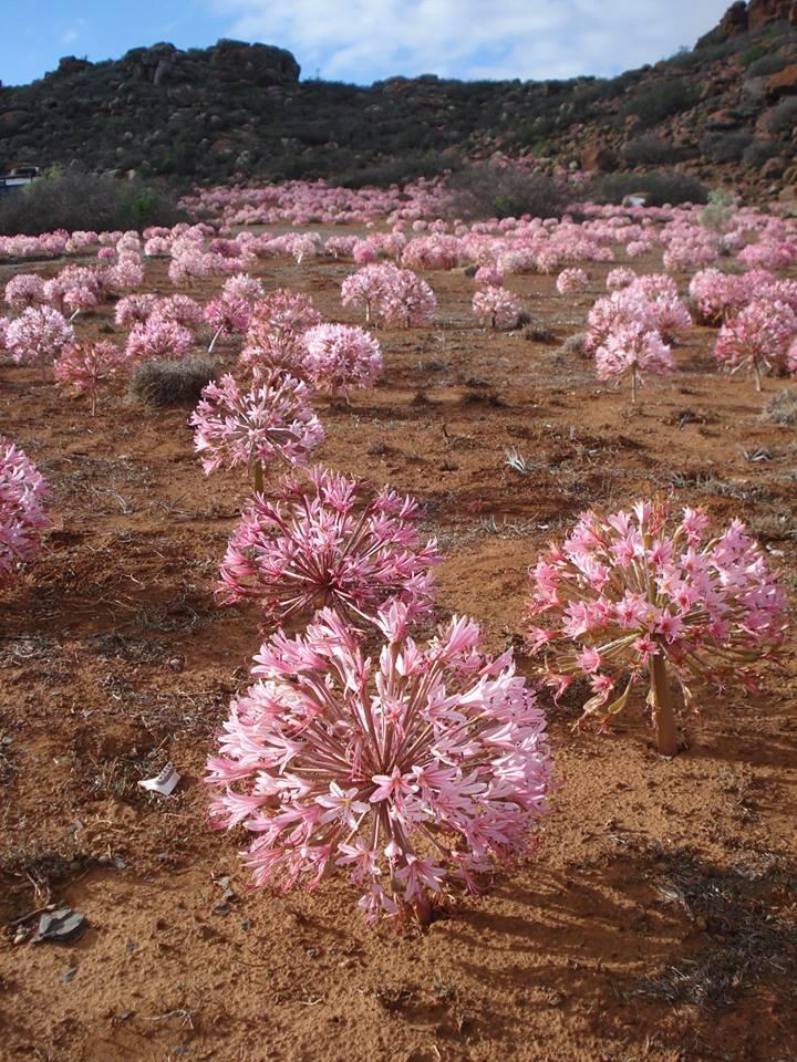 brunsvigia, hagymás virágzás, Dél-Afrika